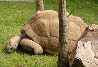 Aldabra Giant TortoiseWikiPhoto